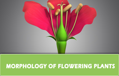 CH 5 – MORPHOLOGY OF FLOWERING PLANTS
