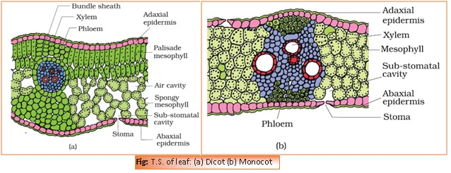 Chapter 6 Anatomy Of Flowering Plants Biology For Medical