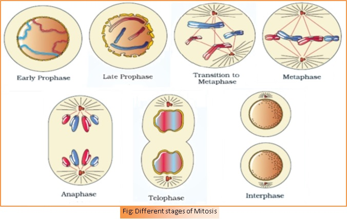 Chapter 10 cell cycle and cell division biology for medical meiosis ccuart Choice Image