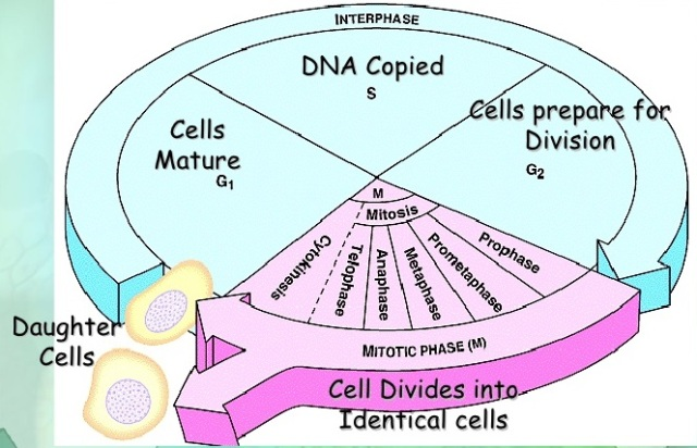 Chapter 10 cell cycle and cell division biology for medical chapter 10 cell cycle and cell division biology for medical entrance exams ccuart Image collections