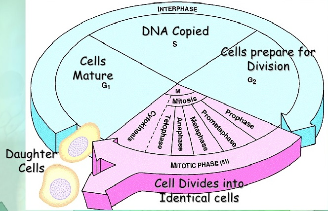 CHAPTER 10 – CELL CYCLE AND CELL DIVISION