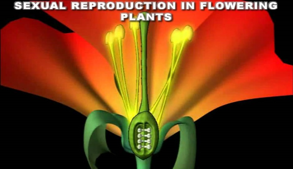CHAPTER 2 : SEXUAL REPRODUCTION IN FLOWERINGPLANTS