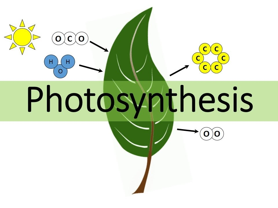 CHAPTER 13 – PHOTOSYNTHESIS IN HIGHER PLANTS