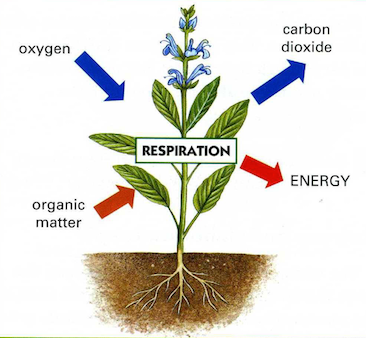 CHAPTER 14 – RESPIRATION IN PLANTS