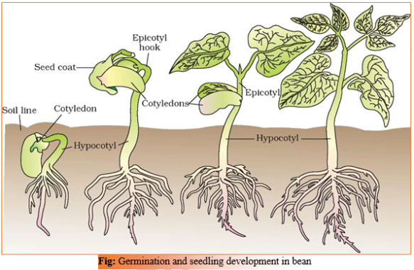 CHAPTER 15 – PLANT GROWTH AND DEVELOPMENT | Biology for